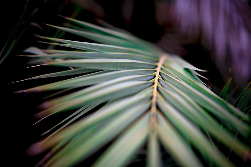 Leading Lines Beauty In Nature Botany Close-up Focus On Foreground Fragility Freshness Green Color Leaf Leaves Natural Pattern Nature Needle - Plant Part No People Outdoors Palm Leaf Plant Plant Part Selective Focus Spiky Tranquility Vulnerability