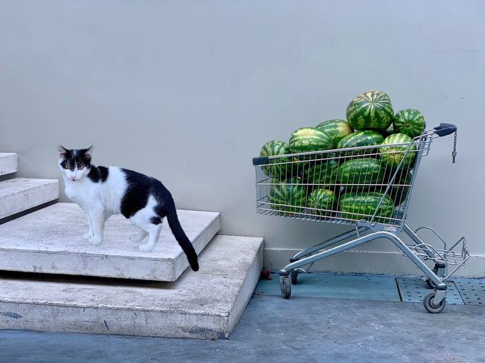 Water Melon Melonsalad Melons Shopping Cart Animal Mammal Animal Themes Pets Domestic One Animal Domestic Animals No People Food Vertebrate Food And Drink Healthy Eating Vegetable Day Cat Freshness Nature Full Length Basket Domestic Cat