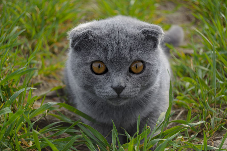 Cute Pets Scottish Fold Kitten Scottish Fold Tabby Animal Eye Cat Close-up Cute View Domestic Domestic Animals Domestic Cat Feline Field Grass Looking At Camera Mammal Nature No People One Animal Pets Plant Portrait Scottish Fold Vertebrate Whisker Yellow Eyes