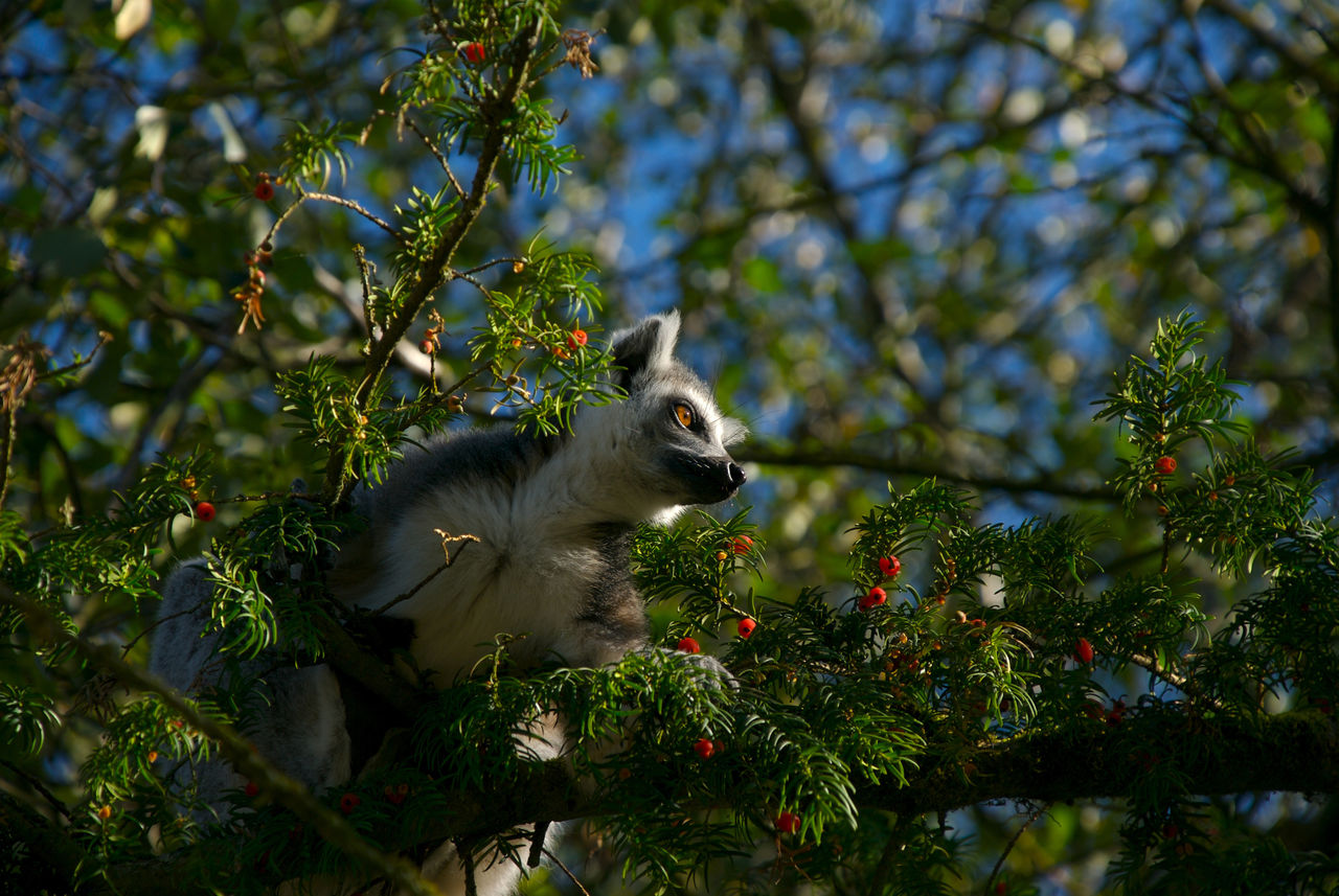 Low Angle View Of Ring-Tailed Lemur On Berry Tree