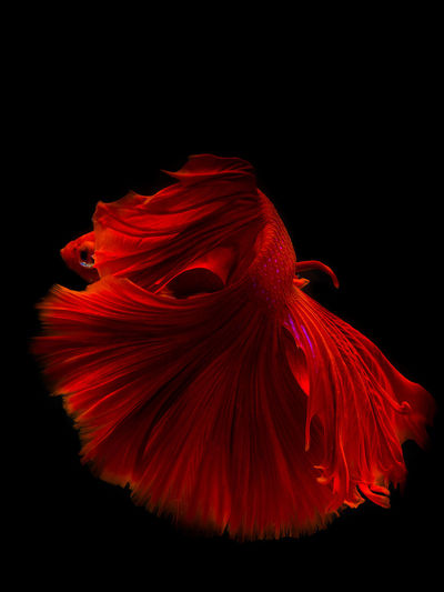 Bett SiamParagon Animal Themes Beauty In Nature Black Background Close-up Fighting Fisheye Flamingo Flower Flower Head Fragility Hibiscus Nature Night No People Outdoors Red Siamese Fighting Fish Studio Shot
