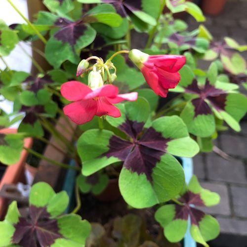 Clover Flower Plant Flower