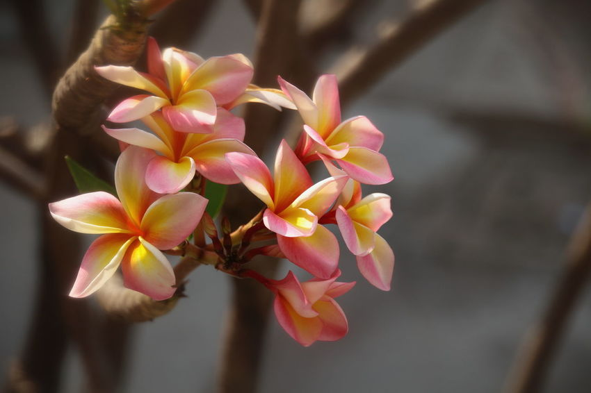 DIY Lens, Macro Photography Thailand Photos Beauty In Nature Blooming Close-up Closeup Day Flower Flower Head Focus On Foreground Fragility Freshness Growth Macro_collection Nature No People Outdoors Petal Pink Color Plant Plumeria Blossoms Plumeria Flowers Thailand_allshots