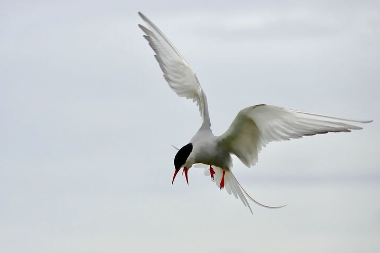 Arctic Tern Flying Bird Animals In The Wild Animal Wildlife Animal Animal Themes Vertebrate Spread Wings Sky Nature No People Motion Low Angle View Day Outdoors Mid-air Animal Wing White Color One Animal The Great Outdoors - 2018 EyeEm Awards