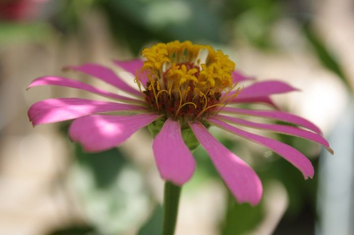 Flower Close-up Beauty In Nature Nature Summer Flower Head Beauty Canon😉 Phuket Thailand🇹🇭