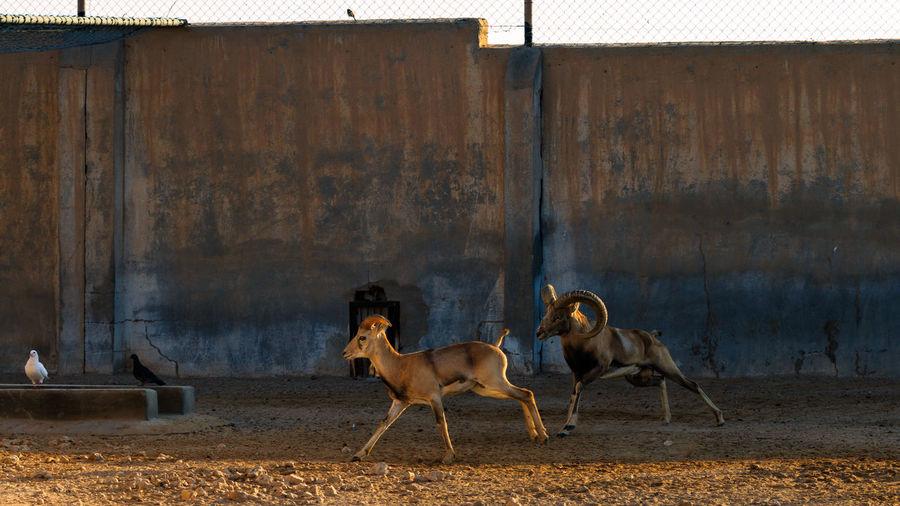 Mountain goats running on field