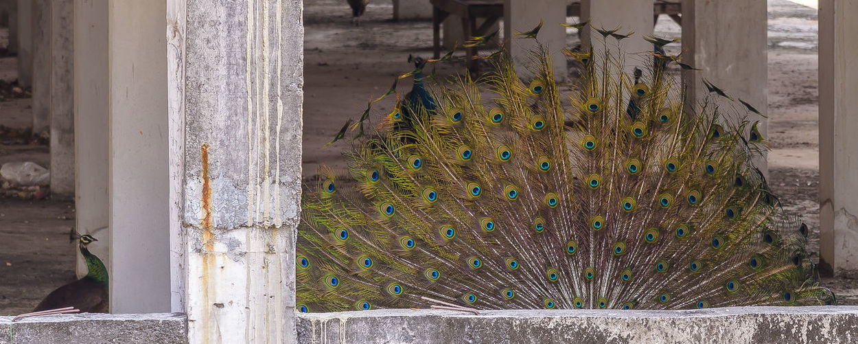 The beauty of the peacock Amphawan Temple, Ban Muang Subdistrict, Na Phu Sub-district, Phen District, Udon Thani Province The Beauty Of Nok U The Beauty Of The Peacock Peacock Peacock Feather Peacock Feathers Peacock Colors Peacock Blue The Beauty Of Nature The Beauty Of Fall The Beauty Feather  Fanned Out Prison Dreamcatcher Preening Quill Pen Razor Wire Tropical Bird Confined Space Punishment Beak Animal Crest Trapped Security Bar Metal Grate Prisoner Birdcage Cage Prison Cell