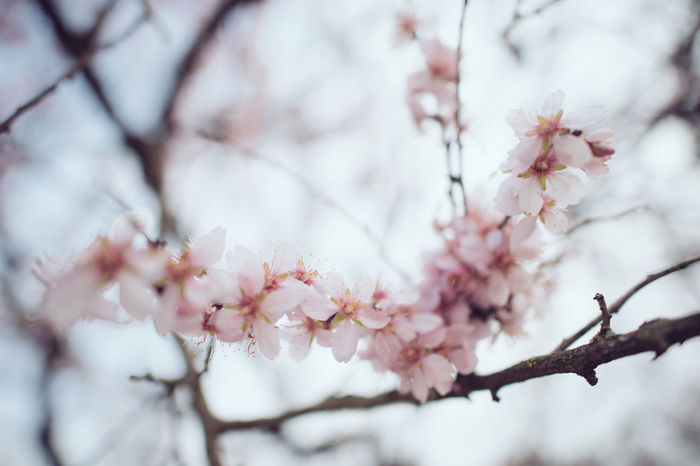 Almond Almond Tree Almondtree Beauty In Nature Blooming Blossom Branch Cherry Blossom Cherry Tree Flower Focus On Foreground Fragility Freshness Fruit Tree Growth Low Angle View Nature Rosé Springtime Tree Twig