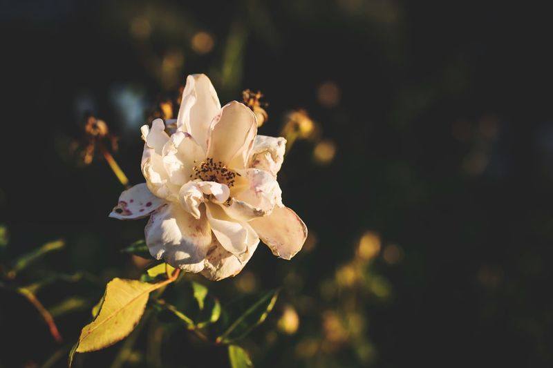 EyeEm Selects Flower Petal Nature Fragility Beauty In Nature Flower Head Close-up Blossom Blooming Plant Outdoors