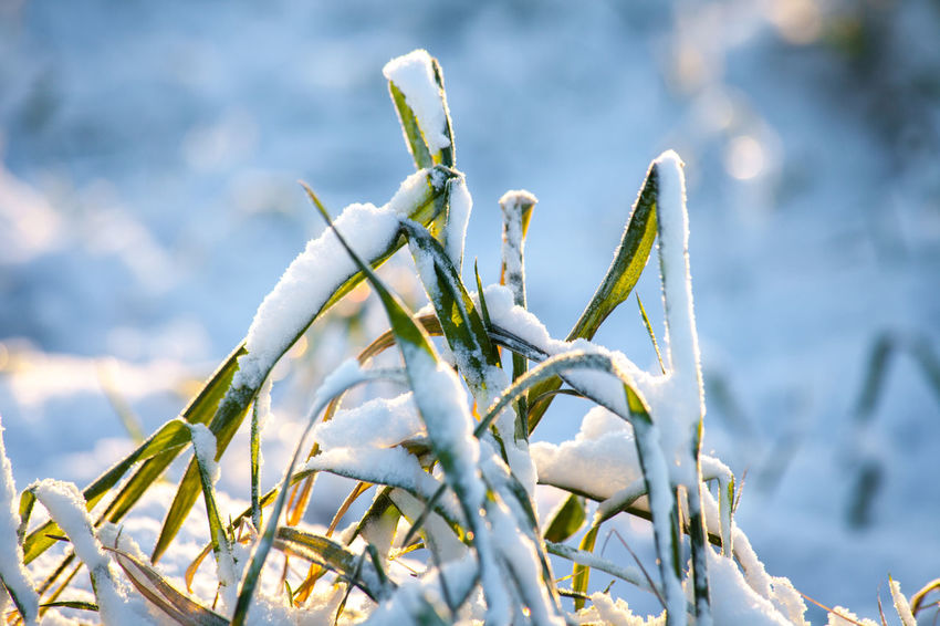 Beauty In Nature Close-up Cold Temperature Day Focus On Foreground Frozen Growth Nature No People Outdoors Plant Snow Weather Winter