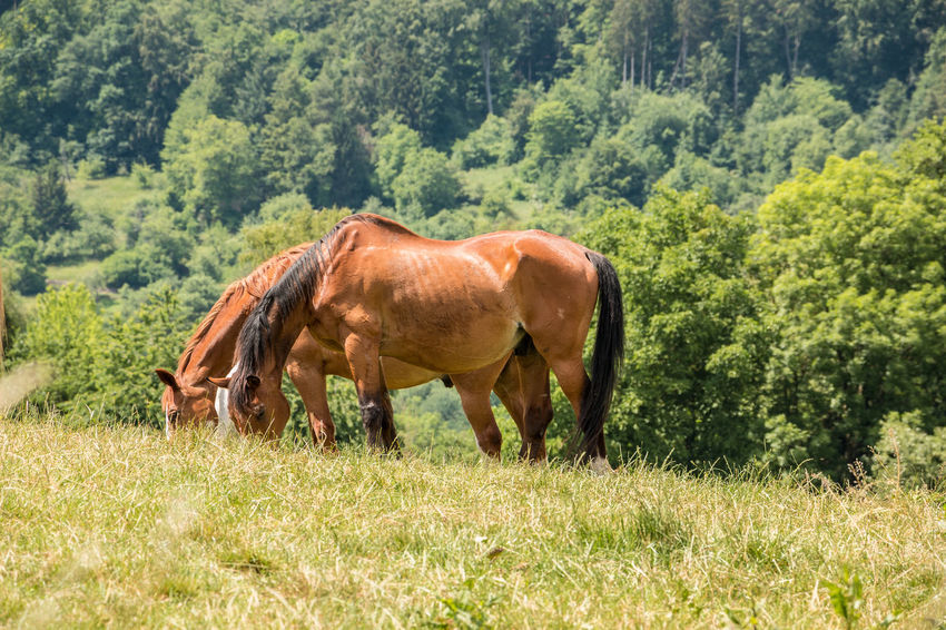 Horses on the green meadow Agriculture Animal Animal Themes Animal Wildlife Day Domestic Domestic Animals Field Grass Grazing Herbivorous Horse Land Livestock Mammal Nature No People One Animal Outdoors Plant Tree Vertebrate