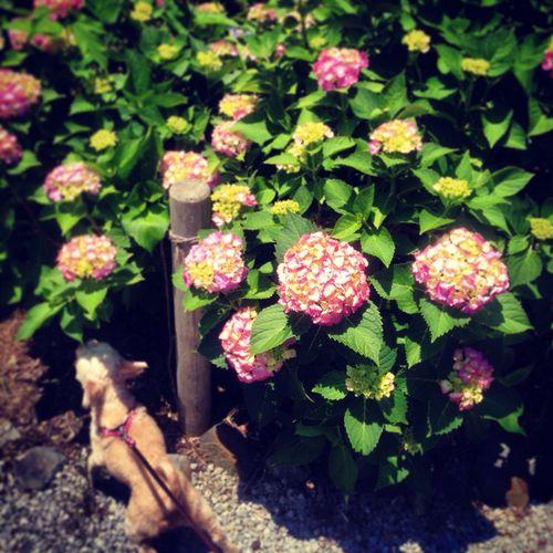 紫陽花 千葉県 勝浦 Love Flowers Dog Bunga 花