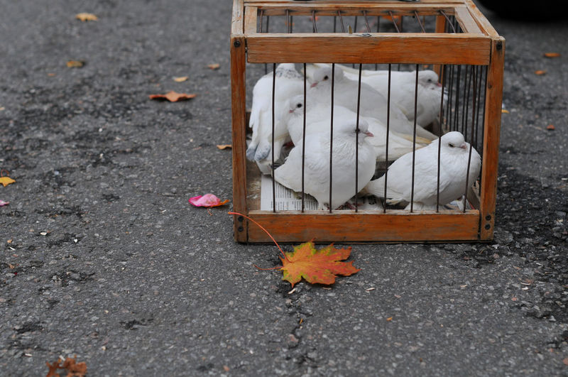 High angle view of doves in cage on street