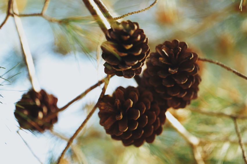 Grow them love them Plant Close-up Growth Beauty In Nature Pine Cone Nature Focus On Foreground Flower Flowering Plant Freshness Day Selective Focus Outdoors Vulnerability  Fragility Brown Inflorescence Tranquility Tree