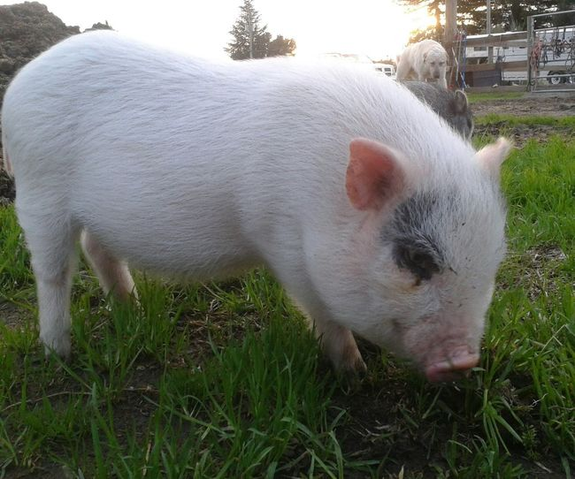 Little piggy. EyeEm Animal Lover Animal Animal_collection Animal Photography Pigs Piggy Piglet Pig Piglets Piggies Baby Animals Animals Sunset_collection Grass Eating Little Piggy Enjoying Life Hanging Out Adorable Cute Cute Pets