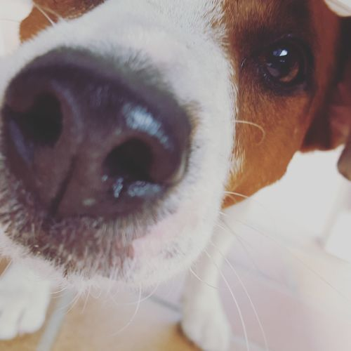 I LOVE DOG Pets Dog Close-up Portrait Looking At Camera Jackrussell Nose Nasonegigante♥♥🐶 Musettodolce Cucciolo❤ Puppy