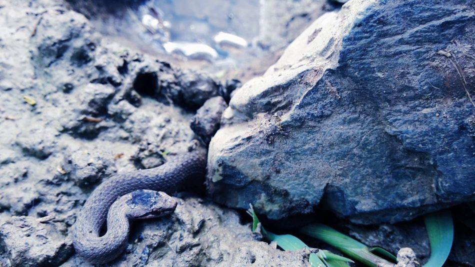 Snake ♥ Nature Rock Animal Head  No People Beauty In Nature Outdoors Water Animal Animals In The Wild Animal Photography Try Everything Believe Never Give Up ✌ Sick And Cute  Scary Scary Stuff  Scary Dude Snakes Are Beautiful Snake Head Snakes♥ Snake!!  Snakes Of Eyeem Snake Trying To Be Creative Live For The Story
