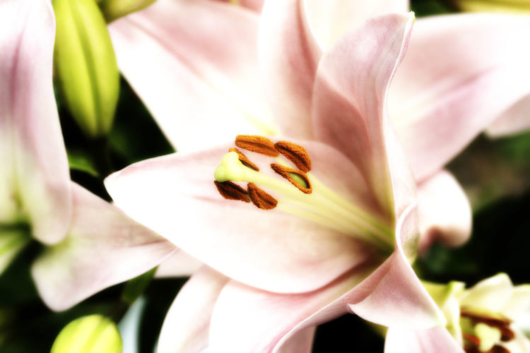 Lily Flower Lily Beauty In Nature Blooming Close-up Day Day Lily Flower Flower Head Fragility Freshness Growth Lilie Lilies Lilies In Bloom Lily Flower Nature No People Outdoors Petal Plant White Color