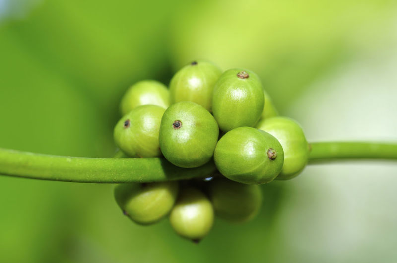 coffee beans Green Color Healthy Eating Freshness Close-up Fruit Food And Drink Food Focus On Foreground Wellbeing No People Selective Focus Plant Day Growth Vegetable Nature Beauty In Nature Still Life Granny Smith Apple Outdoors