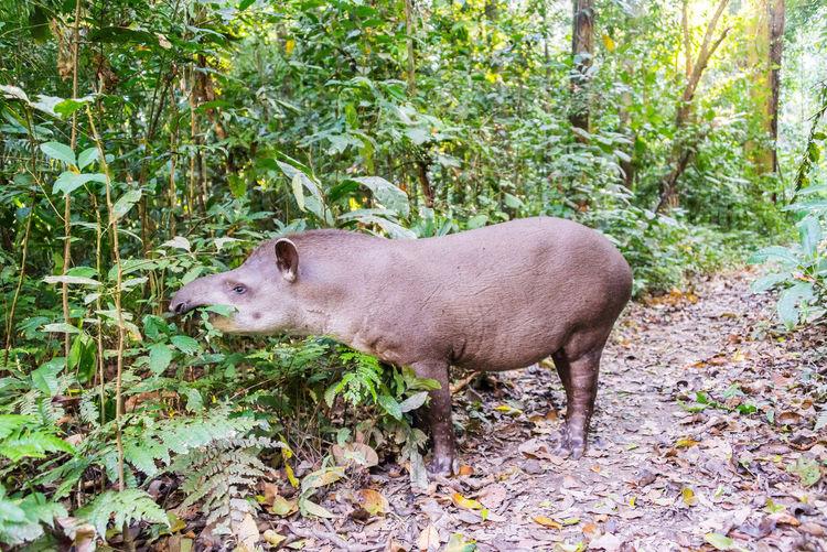 Brazilian Tapir Eating Plants At Madidi National Park