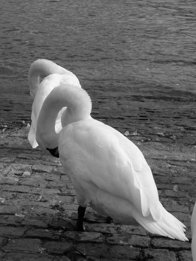 Black & White Feathers Nature Animal Themes Animal Wildlife Animals In The Wild Beach Beauty In Nature Bird Blackandwhite Close-up Day Lake Lakeside Monochrome Monochrome Photography Nature No People Outdoors Swan Water Water Bird White Color