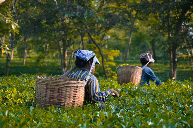 Tea plucking - The stage of tea production Tea Crop Flower Tree Rural Scene Farmer Agriculture Working Women Basket Asian Style Conical Hat Farm Worker Combine Harvester Picking Harvesting Hay Bale Organic Farm Agricultural Equipment Farmland Cultivated Land Growing Plantation Orchard Terraced Field Blooming Scarecrow Crop  Rice Paddy Tractor Bale  Wicker EyeEmNewHere
