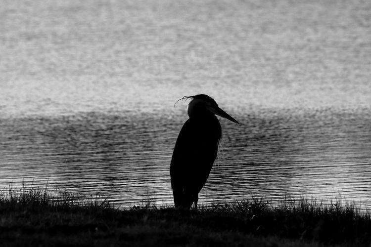 Solitude Tadaa Community Malephotographerofthemonth Texas Photographer Blackandwhite Photography Nature On Your Doorstep Bird Water Raven - Bird Bird Of Prey Full Length Cormorant  Beak