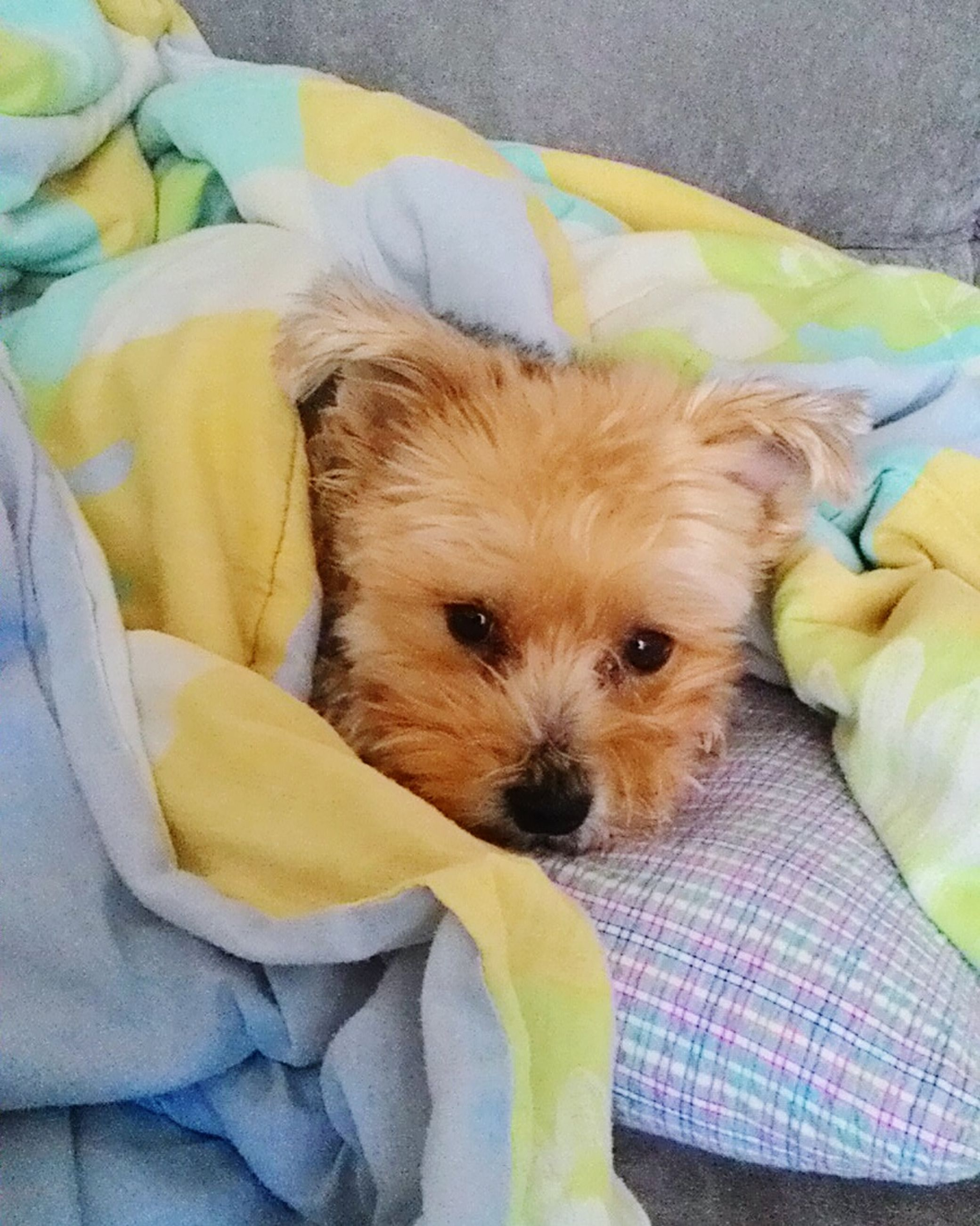 indoors, pets, domestic animals, bed, dog, animal themes, relaxation, one animal, mammal, resting, blanket, high angle view, sofa, lying down, portrait, close-up, sheet, home interior, looking at camera, comfortable