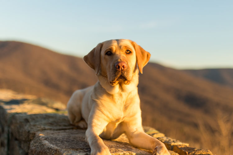 Beautiful yellow lab looking at the camera lays on the stone wall in Shenandoah National Park as the warm sun shines over her and the mountain range behind Animal Themes Bokeh Cute Day Dog Hill Labrador Labrador Retriever Laying Down Looking At Camera Lying Down Mammal Mountain Mountain Range National Park No People One Animal Outdoors Park Pets Portrait Puppy Shenandoah National Park Stone Sunshine
