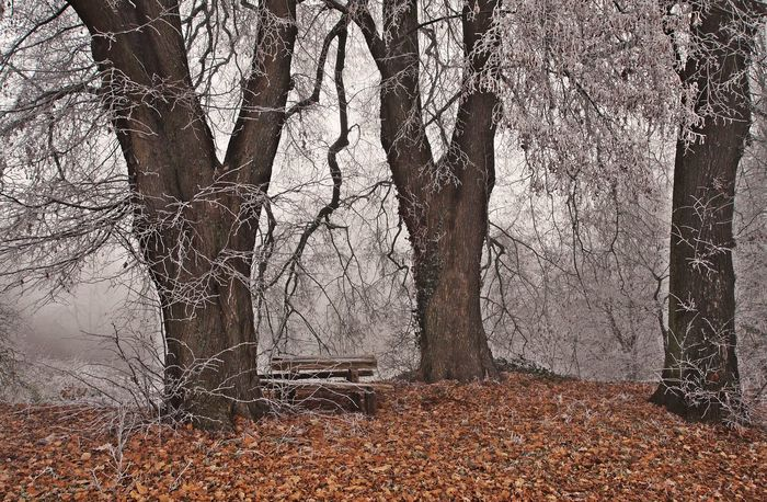 Backgrounds Beauty In Nature Close-up Cold Temperature Day Foggy Day Frosty Leaves Nature No People Oaks Outdoors Sky Tranquil Scene Tree Tree Trunk Winter Wooden Bank Wooden Desk