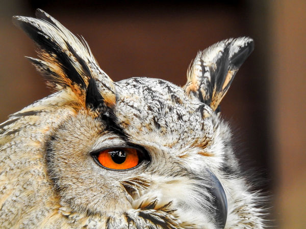 Eagle Owl  Nikon Photography Nikon P900 Animal Animal Body Part Animal Eye Animal Head  Animal Themes Animal Wildlife Animals In The Wild Beak Beautiful Eyes Bird Close-up Eagleowl Eye Eyebrow Focus On Foreground No People One Animal Owl Owl Eyes Owl Photography
