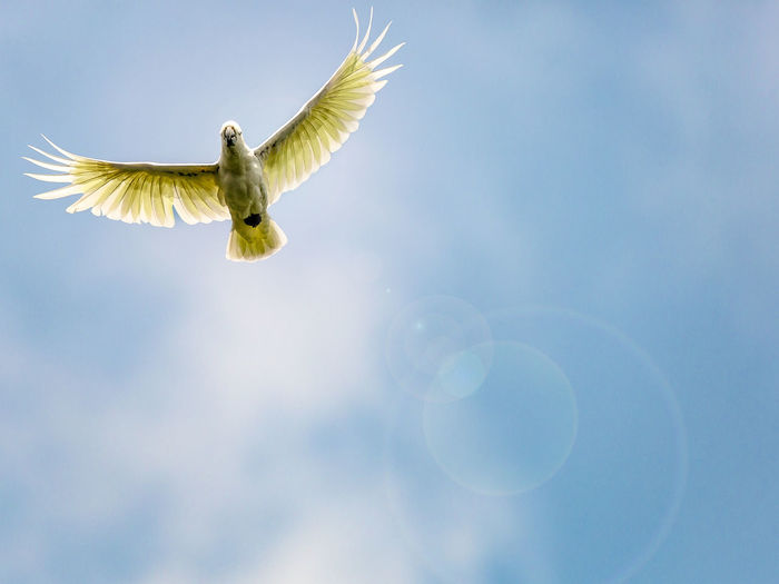 Low angle view of cockatoo flying against sky