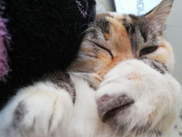 Pets Feline Domestic Cat Happiness Portrait Sleeping Eyes Closed  Lying Down Dog Cute Cat Whisker Stray Animal Animal Eye Animal Face Tabby Tabby Cat