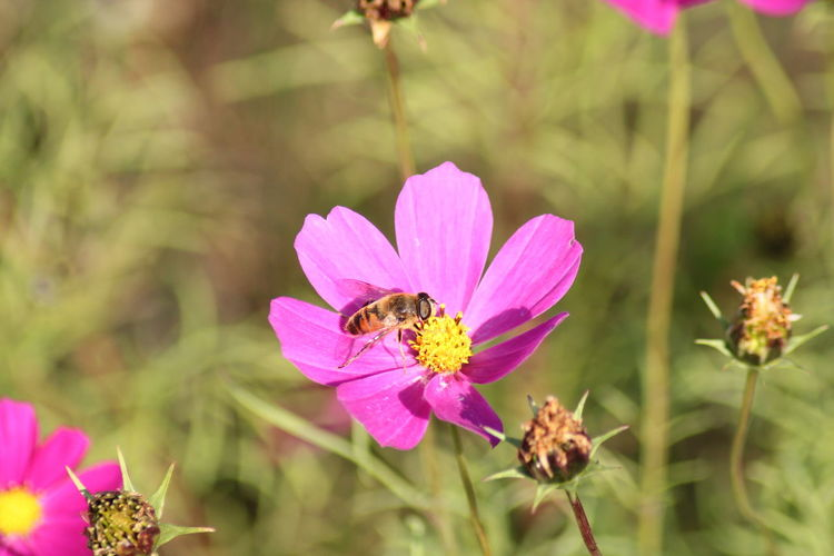 Bee on the pink flower Perching Flower Butterfly - Insect Full Length Pink Color Flower Head Insect Animal Themes Close-up Plant Bee Honey Bee APIculture Buzzing Beehive Honeycomb Petal