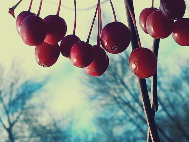 Red Close-up Nature Low Angle View Outdoors Fruit Tree Fruits Tree And Sky Photo Of The Day Taking Photos Nature_collection Capture The Moment Nature Lover EyeEm EyeEm Best Edits Calme Et Solitude EyeEm Best Shots EyeEm Gallery Populaire Pommier Canada Pommes Hanging Apple Tree Little Apples