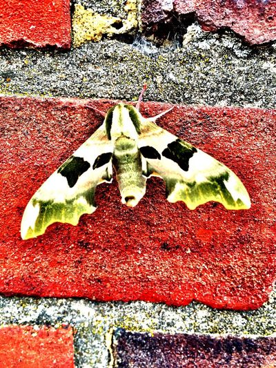 A real camouflaged Moth taken in London Insect Moth