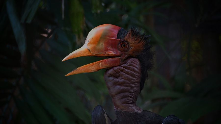 Close-up of a helmeted horbill bird