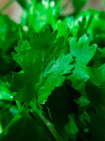 Fresh coriander leaves, one of the best food compliments Vegetable Salad Vegetable Garden Vegetables Photo Vegetables & Fruits Vegetarian Food Leaf Photography Leaf Green Leaves Coriander Green Vegetable Vegetable Green Color Leaf Close-up No People Plant Nature Growth Selective Focus Outdoors Day Beauty In Nature Water Animal Themes Fragility