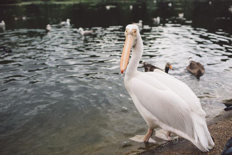 Pelican on lakeshore