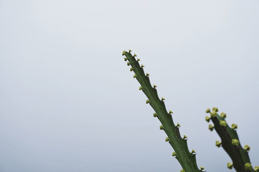 Couples Cactus Sony A6000 Sony Nature No People Beauty In Nature Day Growth Low Angle View Outdoors Plant Close-up Freshness