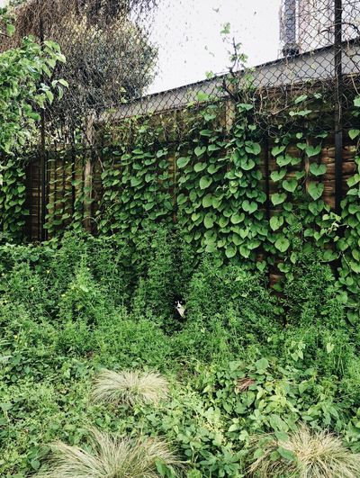 Black and white cat. Home Garden Domestic Animals Funny Garden Fence Hiding Undergrowth Seeing Hidden Spying Watching Pet Animal Cat City Green Color Growth Nature No People Day Outdoors Tree Beauty In Nature Foliage Lush Foliage Built Structure Leaf Field Plant Part