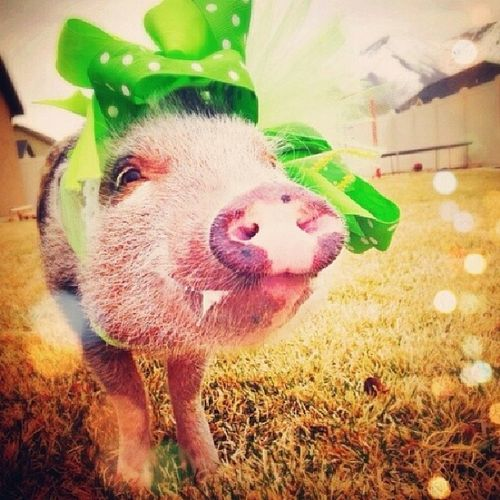 Cuteness Lilpiggy
