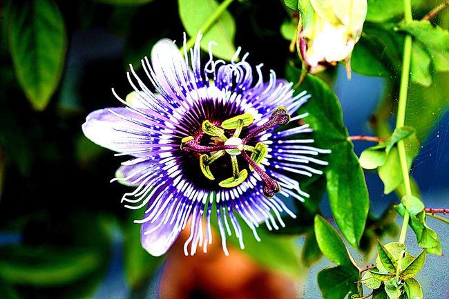 Late passionflower in my garden! Flowerforfriends Floralperfection Passionflower Eyeemflowerlover
