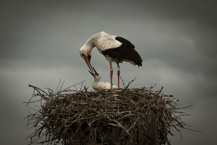 Animal Nest Animal Themes Animal Wildlife Animals In The Wild Bird Bird Nest Day Low Angle View Nature No People Outdoors Pelican Sky Stork White Stork