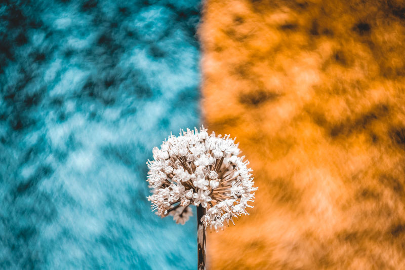 Close-up of white flowering plant against blue and orange fabric background
