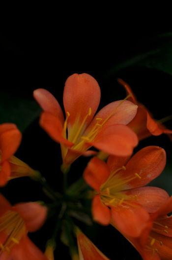 Close-up of orange flowering plant against black background