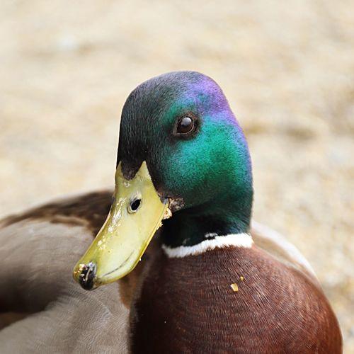 🦆 Ducks. V
