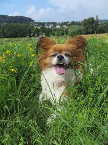 Happiness Papillon I Love My Dog
