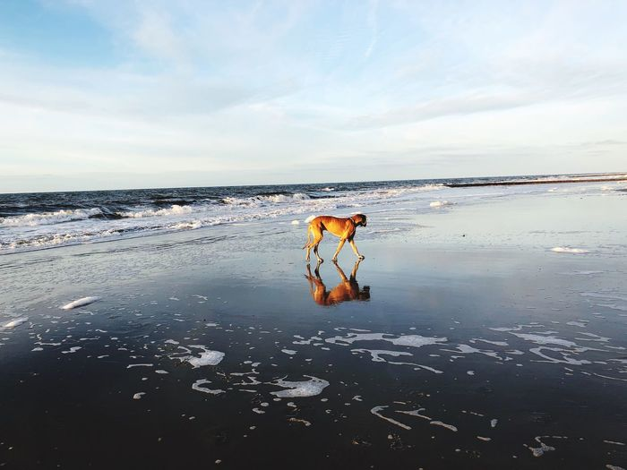 Deutsche Dogge Great Dane Dog Deutsche Dogge Water Sky Sea Land Beach Cloud - Sky Horizon Over Water Outdoors Day Nature