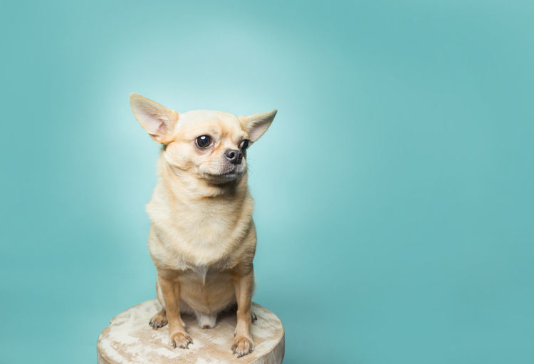 Portrait of a dog against blue background